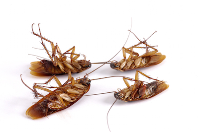four dead cockroaches